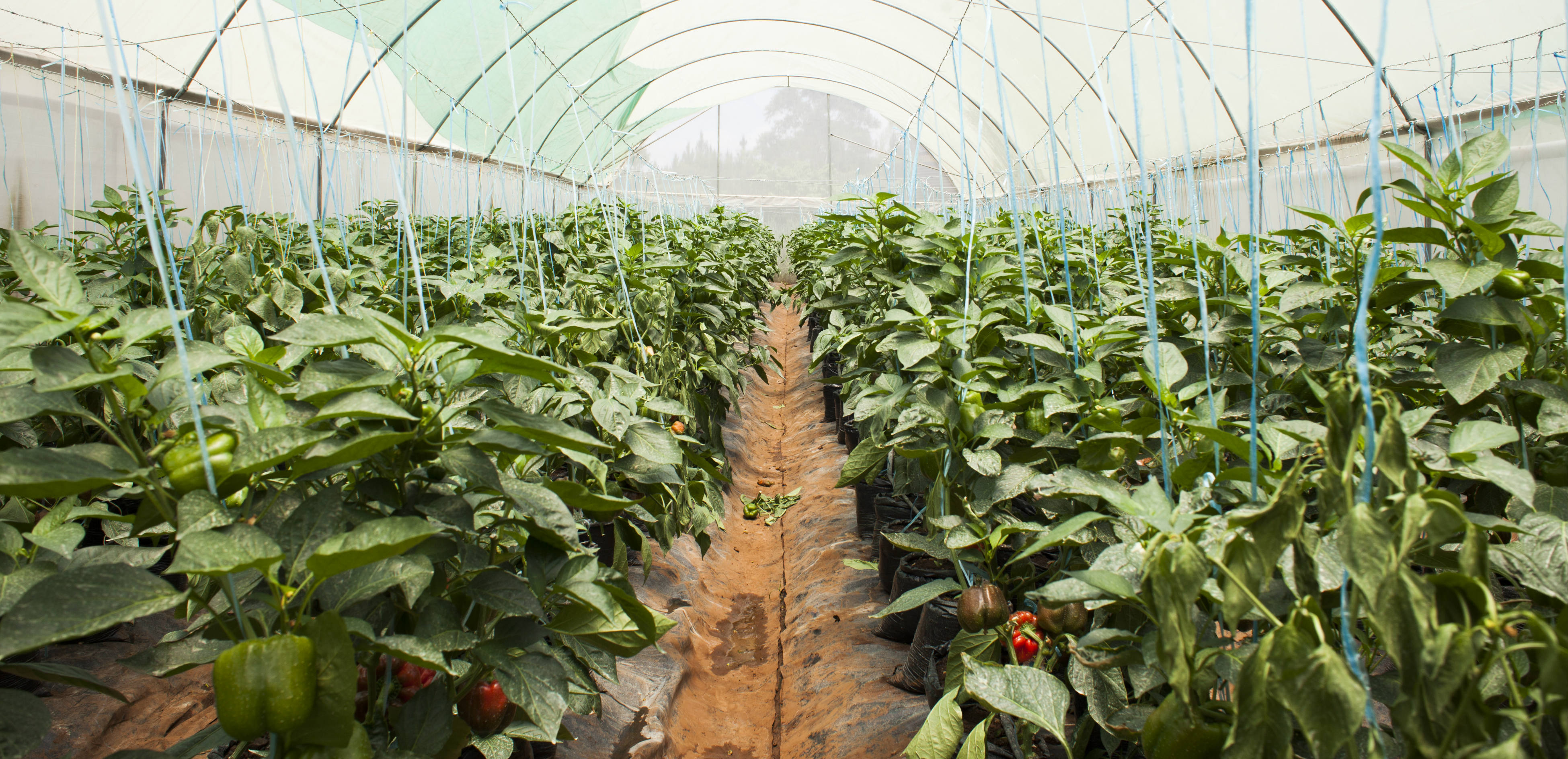 Glasshouse harvesting: a great opportunity for the farm